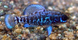 Pygmy sunfish (Elassoma okefenokee).. inhabit slow flowing, weed-choked areas of water...an inch or so...require small live foods, such as blackworms or Daphnia,..mid to bottom tank