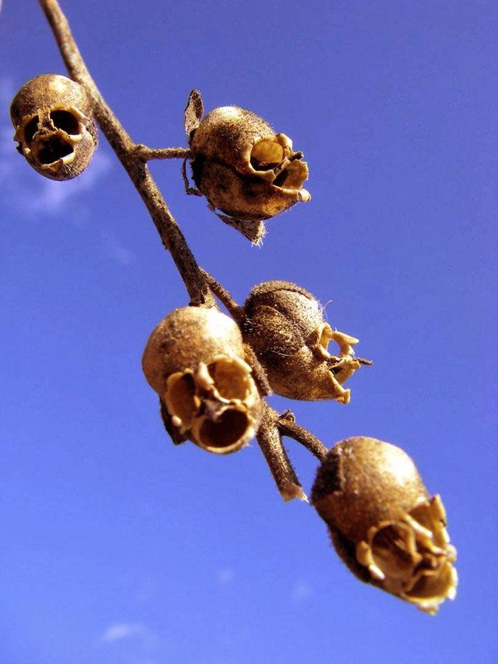 Antirrhinum, de petites têtes de morts !