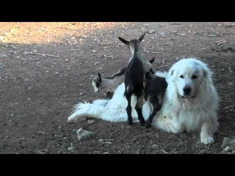 Because goats are all the rage and Pyrs are a favorite here at Boing Boing. THAT is adorable