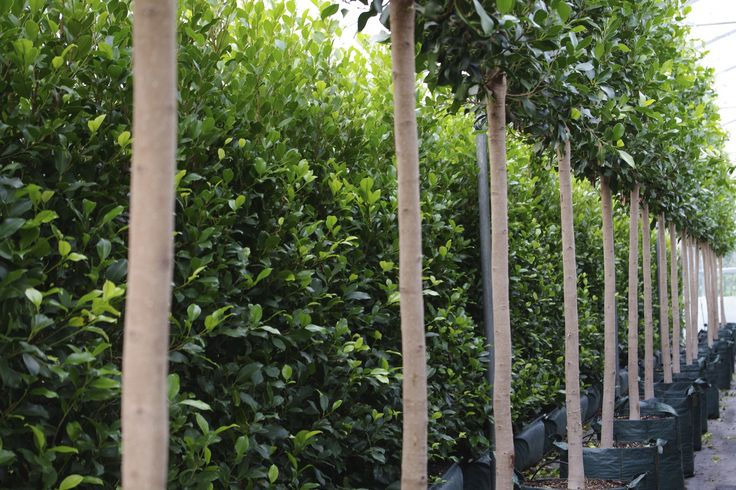 Living Walls™ Ficus Tuffi pleached hedge.