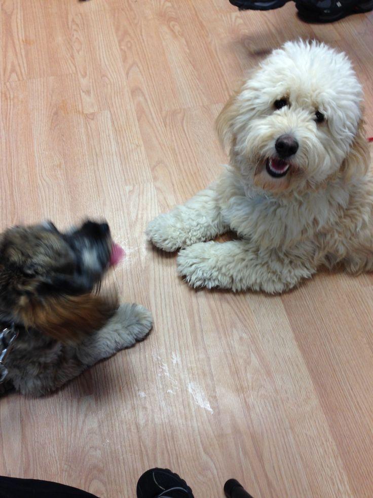 My friend Levi at Agility training #DogAgility #cockapoo #love