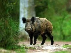 Wild pig hunting in FL