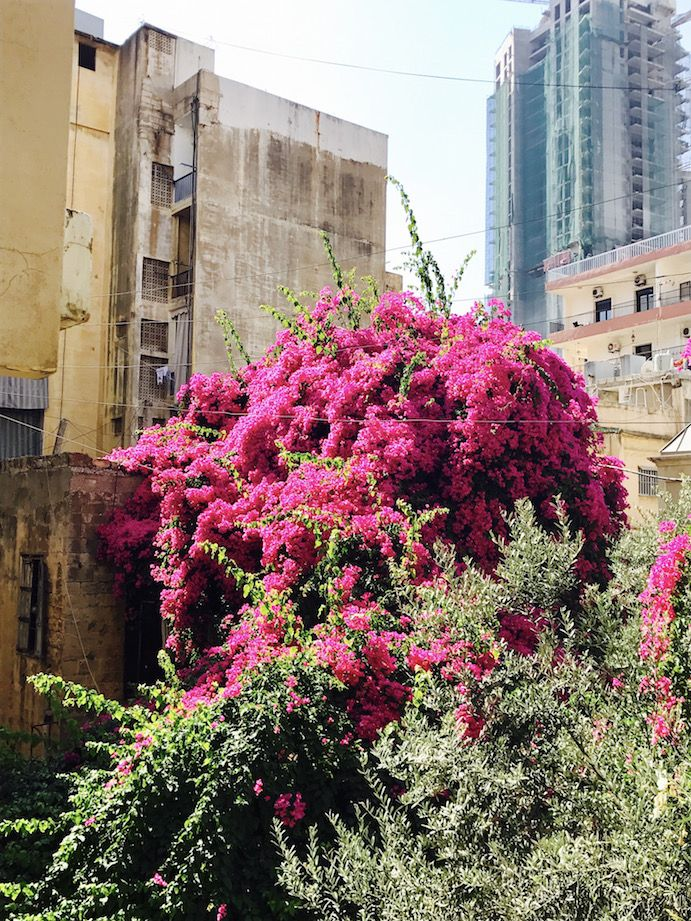 Pink flowers in the Gemmayze  neighborhood of Beirut