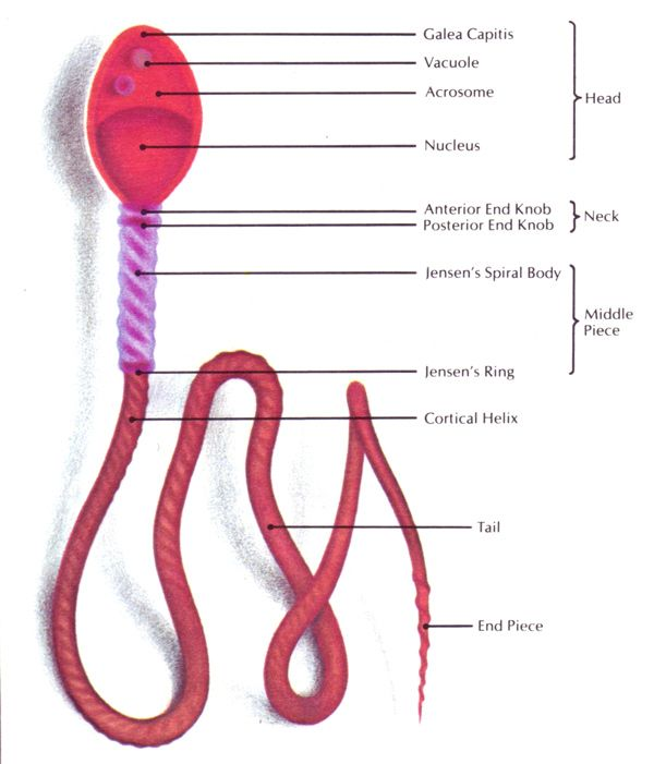 66 best cells meiosis images on pinterest ap biology life figure 409 composite schematic diagram of the human spermatozoan greatly enlarged ccuart Gallery