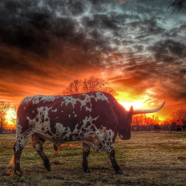 Texas Longhorn with a stunning sunset