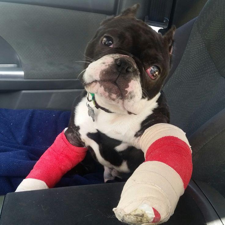French Bulldog dog for Adoption in Huntington Beach, CA. ADN-514397 on PuppyFinder.com Gender: Male. Age: Young