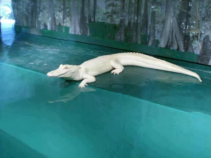 Albino croc