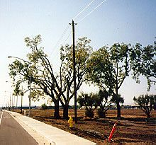 tree trimmed near power lines