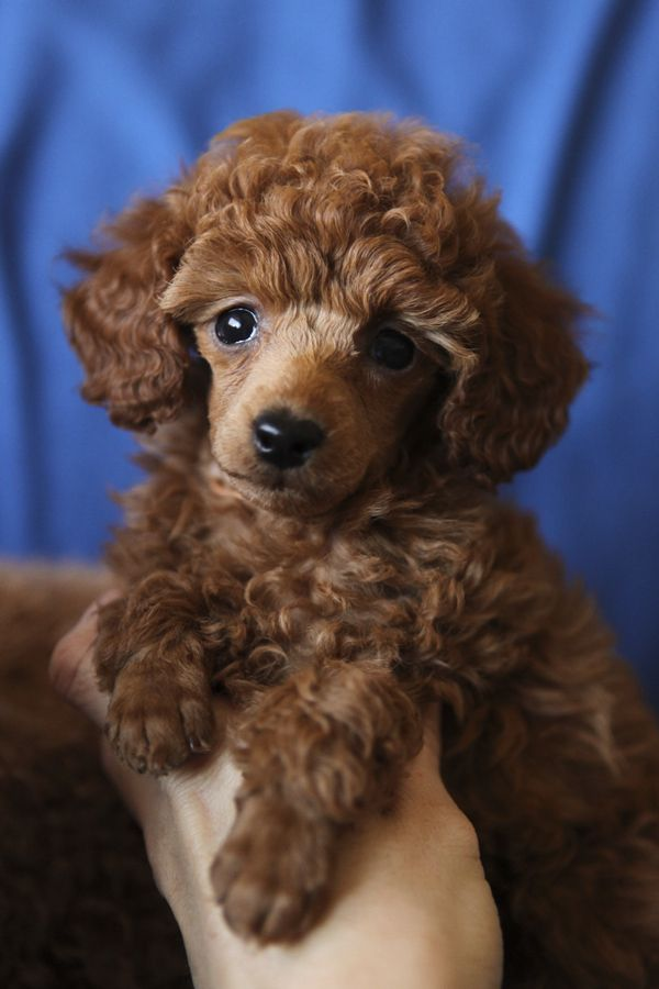 Mac at seven weeks, one of my red poodle puppies!