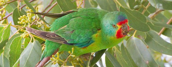 http://www.parrotsdailynews.com/the-swift-parrot-was-reclassified-to-critically-endangered-category-in-the-iucn-red-list …-Media Tweets by Parrots Daily News (@ParrotsDaily) | Twitter