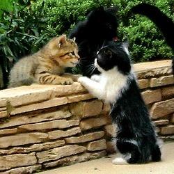 Pour ADOPTER des chatons à Bordeaux, à l'Ecole du Chat Libre, cliquer 2X. Chatons et chats de la rue, sociabilisés, tatoués et stérilisés.                                                                                                                                                      Plus