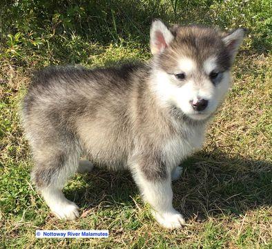 Alaskan Malamute puppy for sale in COURTLAND, VA. ADN-26312 on PuppyFinder.com Gender: Female. Age: 8 Weeks Old