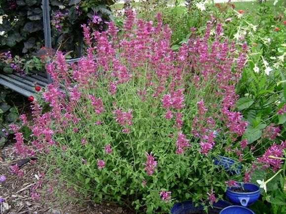 Hyssop heat and drought tolerant blooms all season deer resistant attracts butterflies and - Tough perennial bloomers drought insect and pest resistant flowers ...