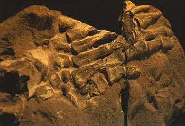 Bu da Kolombiya, Bogota yakınlarında bulunmuş bir insan eli fosili. Fosilleştiği kayanın yaşı 100 – 130 milyon yıldır. Yani , fosilde o kadar sene önce meydana gelmiştir.