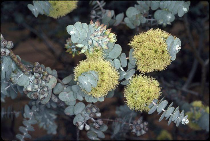eucalyptus kruseana | kruse's bookleaf mallee