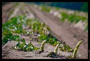 Asparagus Harvesting - How and When to Pick Asparagus