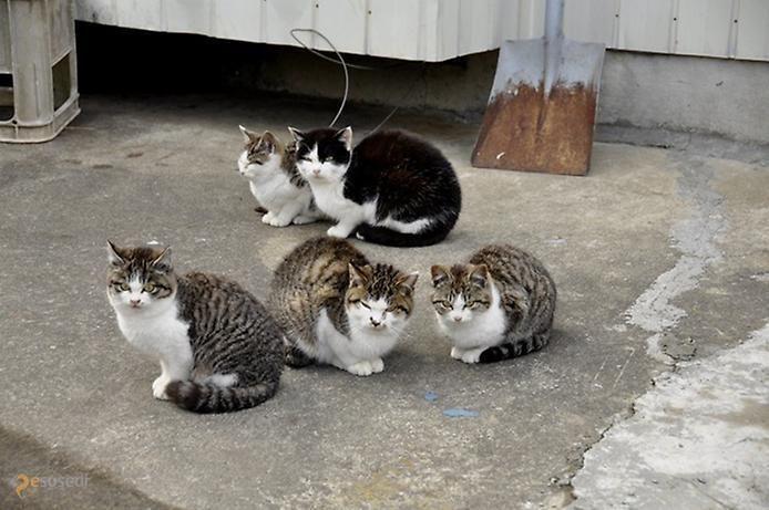 """Кошачий остров – #Япония (#JP) Есть на свете место, где поговорка """"не все коту масленица"""" теряет свою актуальность. На японском острове Tashirojima кошка - это самое настоящее священное животное, и, наверное, скорее здесь будут голодать люди, нежели многочисленные бездомные коты. http://ru.esosedi.org/JP/places/1000079896/koshachiy_ostrov/"""