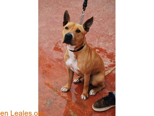 Perros en adopción  España  Las Palmas - Gran Canaria  Ingenio March 05 2018 at 06:02AM   ver foto  #ADOPCIÓN  Contacto y Info: https://leales.org/animales-en-adopcion/perros-en-adopcion/ver-foto_i2743 #Difunde en #LealesOrg un #adopta y sé #acogida para #AdoptaNoCompres O un #SeBusca de #perro o #gatos; #perdido o #encontrado ℹ BUSCA ADOPCIÓN NOMBRE: DORIAN ( JUNIOR ) SEXO: MACHO EDAD: 16 MESES CARÁCTER: MUY BUENO Y MIMOSO RAZA: MESTIZO DE PITBULL Y STAFFORD. TAMAÑO: MEDIANO PESO: 20 KG…