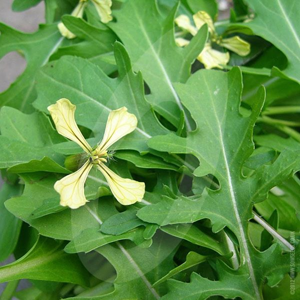 Rocket Discovery has thin, serrated dark green leaves that are not only very similar in appearance to wild rocket but also has the distinctive hot peppery flavour.