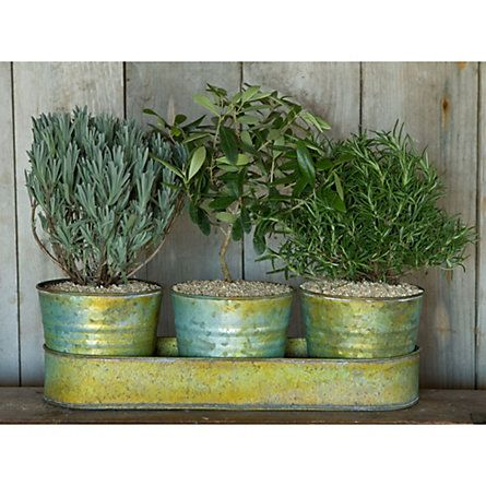 1000 images about outdoor potted plants on pinterest for Olive trees in pots winter care