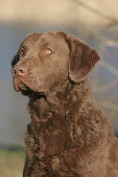 chesapeake bay retriever hunting | chesapeake bay retriever fokker - chesapeake breeder europe ...