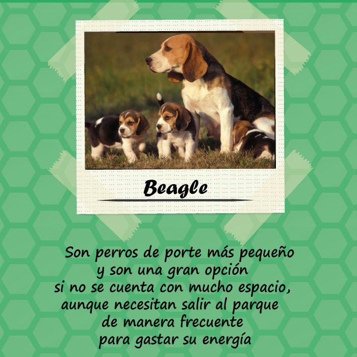 La raza Beagle es una excelente opción para una familia deportista y llena de energía