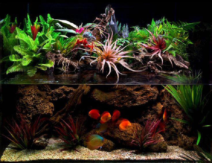Paludarium great discus tank setup aquaria paludaria - Begonia argentata ...