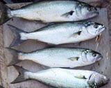 Hangi balık nasıl temizlenir ve saklanır?