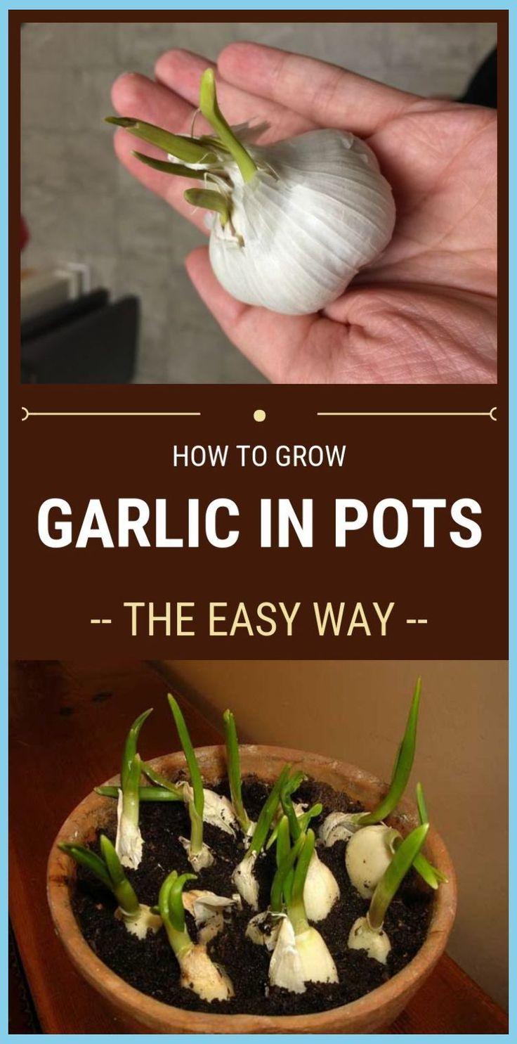 How To Grow Garlic In Pots The Easy Way garlic pot