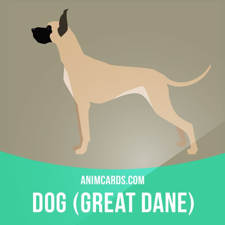 The breed was developed to be huge so that they could hunt large prey, guard their master's property, and even fight in wars. Today's versions have been bred to be calm and friendly companions, unlike their feisty ancestors. Learning English can be fun! Visit our website: learzing.com #english #englishlanguage #learnenglish #studyenglish #language #vocabulary #dictionary #englishlearning #vocab #animals #mammals #mammal #dog #dogs #greatdane #greatdanes