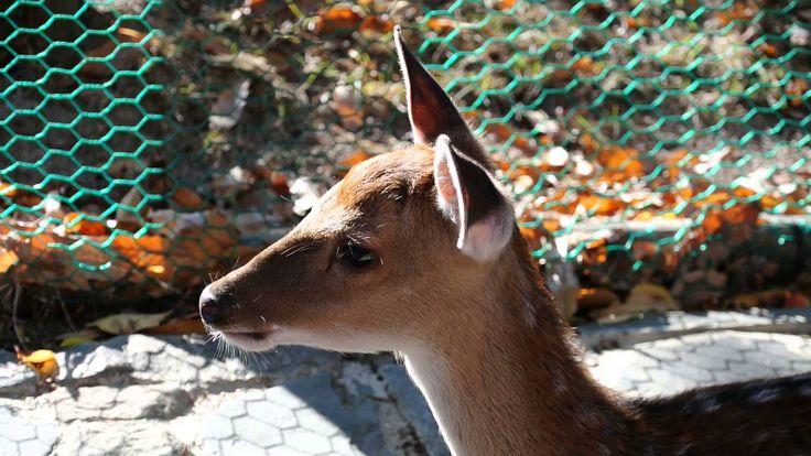 새끼 꽃사슴 (Baby spotted deer)