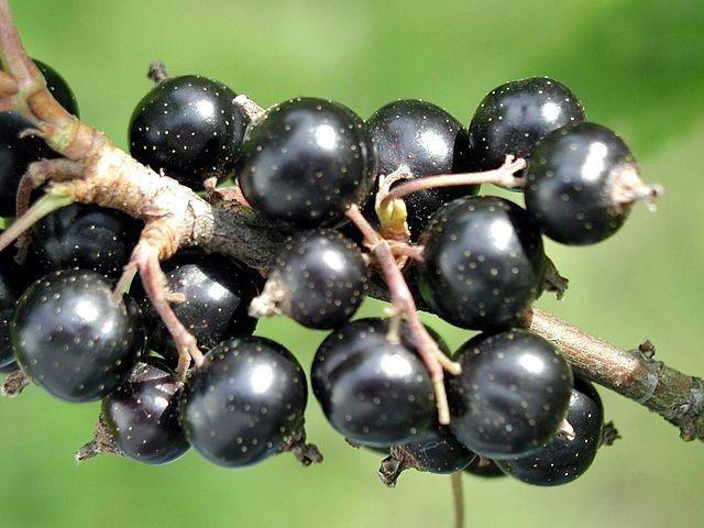 Black Currant Oil: Hair Loss Treatment for Healthy Hair