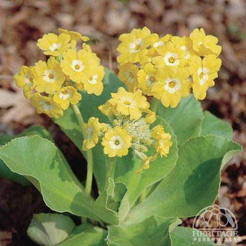 Pihaesikko - Primula pubescens Exhibition Yellow