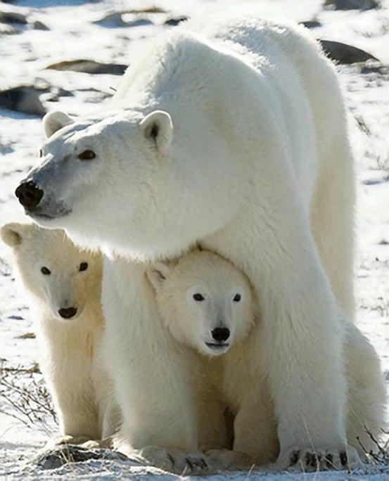 Polar Bear with two cubs - Pixdaus: Wild Animal, Animals, Polar Bears, Mothers, Nature, Wildlife, Cubs, Baby, Polarbears