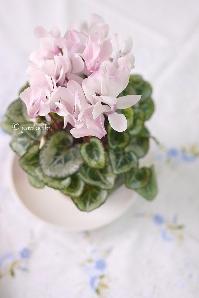 #flori de ciclamen #roz