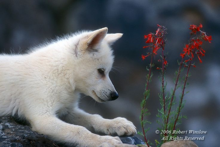 Young Arctic Wolf Pup (Canis lupus), With Red Flowers (Scarlet Gilia) Controlled Conditions