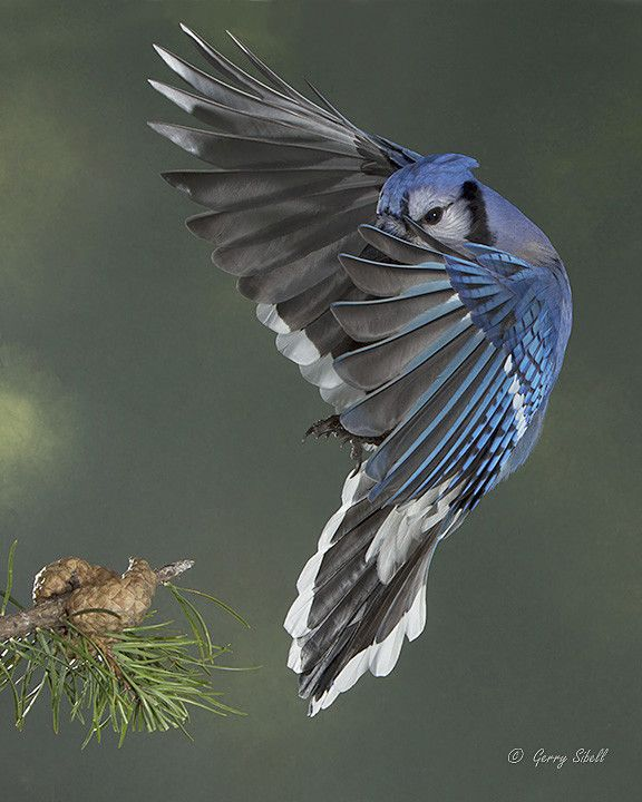 17 Best Images About Gorgeous, Squawking Blue Jays, The