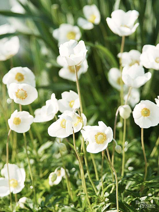 Borne on sturdy yet graceful stems, the snow-white flowers of windflower, Anemone sylvestris, look like they're dancing whenever there's a…