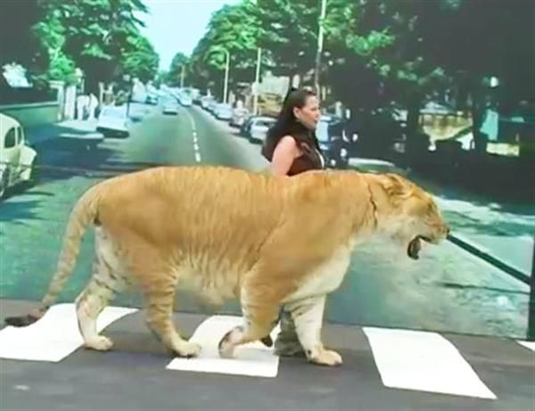 17 Best images about Liger Hercules and Rajani Ferrante on ...