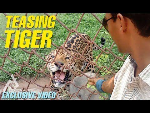Tiger Teasing Exclusive Video   Stop Teasing Animals   Uncut Footage