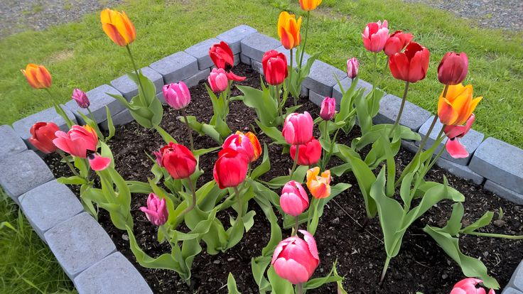 Darwin tulips (red, orange and pink). Darwintulppaanit.