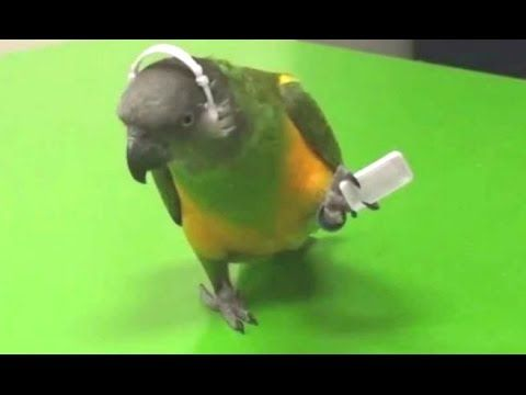 Parrots Dancing - A Funny Parrot Videos Compilation || NEW HD - YouTube