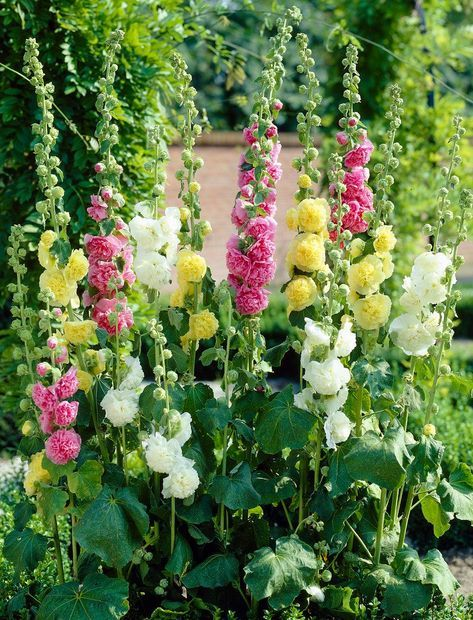 Hollyhock are container friendly perennials and do well in full sun.