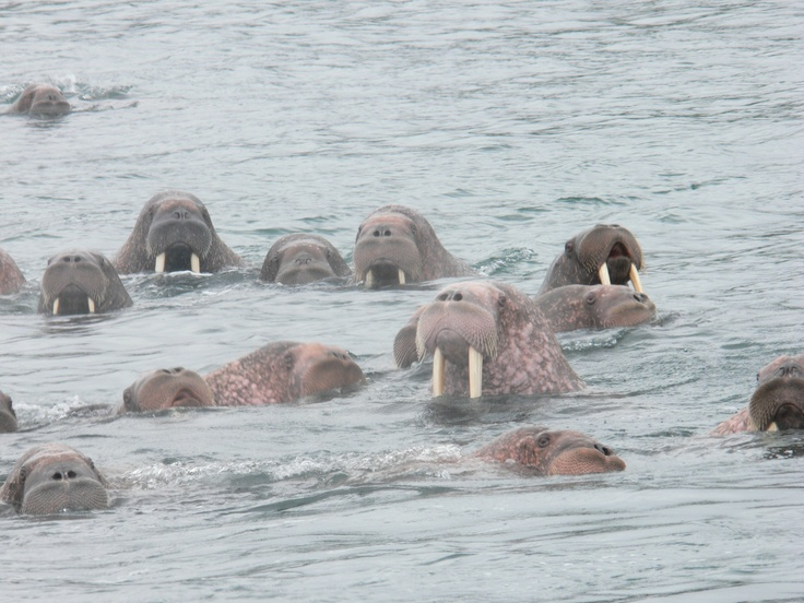 Walrus gathering - Baffin Island, Canada.