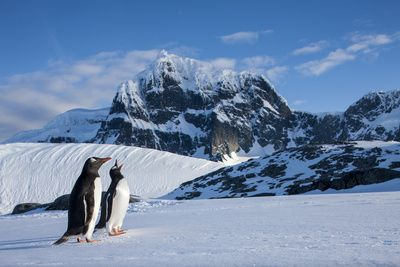 Antarctica, Anvers Island, Gentoo Penguin beneath mountain peaks.