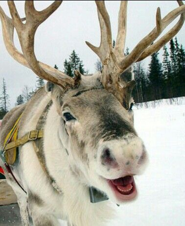 Reindeer - if you love reindeer then take a look at LuxLykReindeer Reindeer Hire - www.luxlykreindeer.co.uk