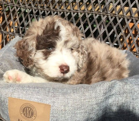 About Aussiedoodles – Aussiedoodle Puppies for Sale- Aussiedoodle and Labradoodle Puppies | Best Labradoodle Breeders in Washington State, Portland, Oregon