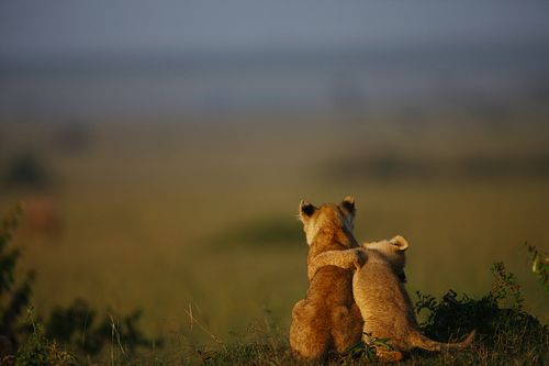 Lions: Animals, Big Cats, Best Friends, Hug, Adorable, Lions, Things, Lion Cubs, Photo