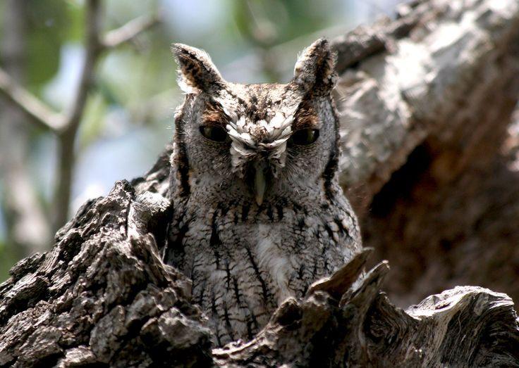 Eastern Screech Owl showing ear tufts -John C. Avise