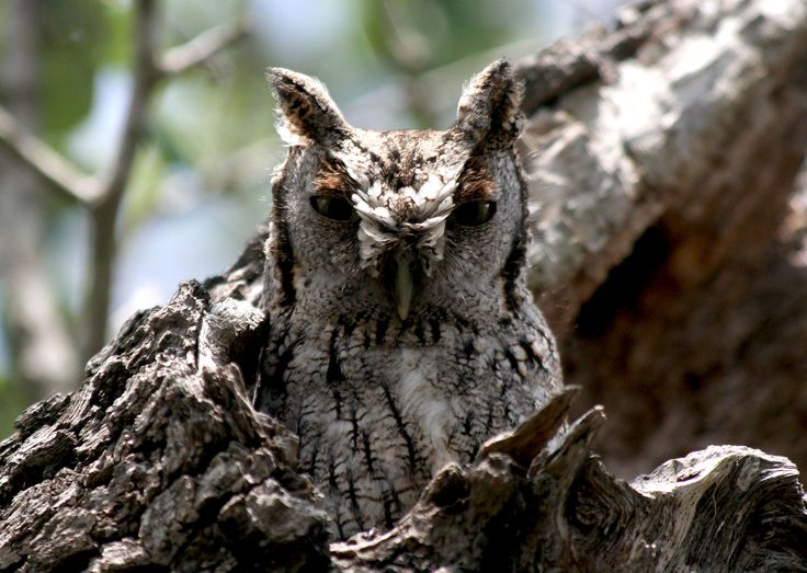 Eastern Screech Owl showing ear tufts -John C. Avise